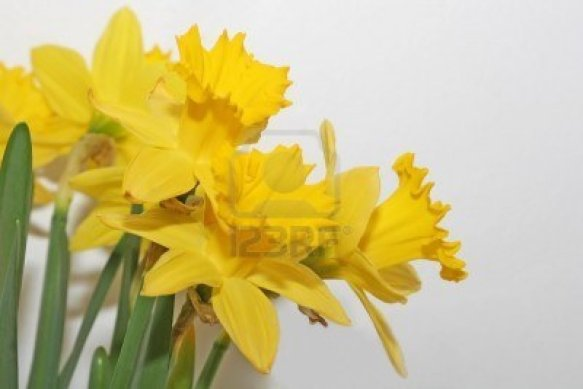 755433-a-bunch-of-yellow-daffodils
